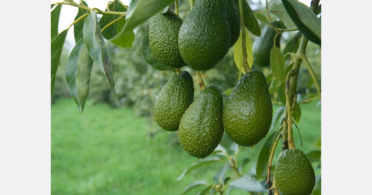 New Zealand avocado returns high despite COVID-19 affected season