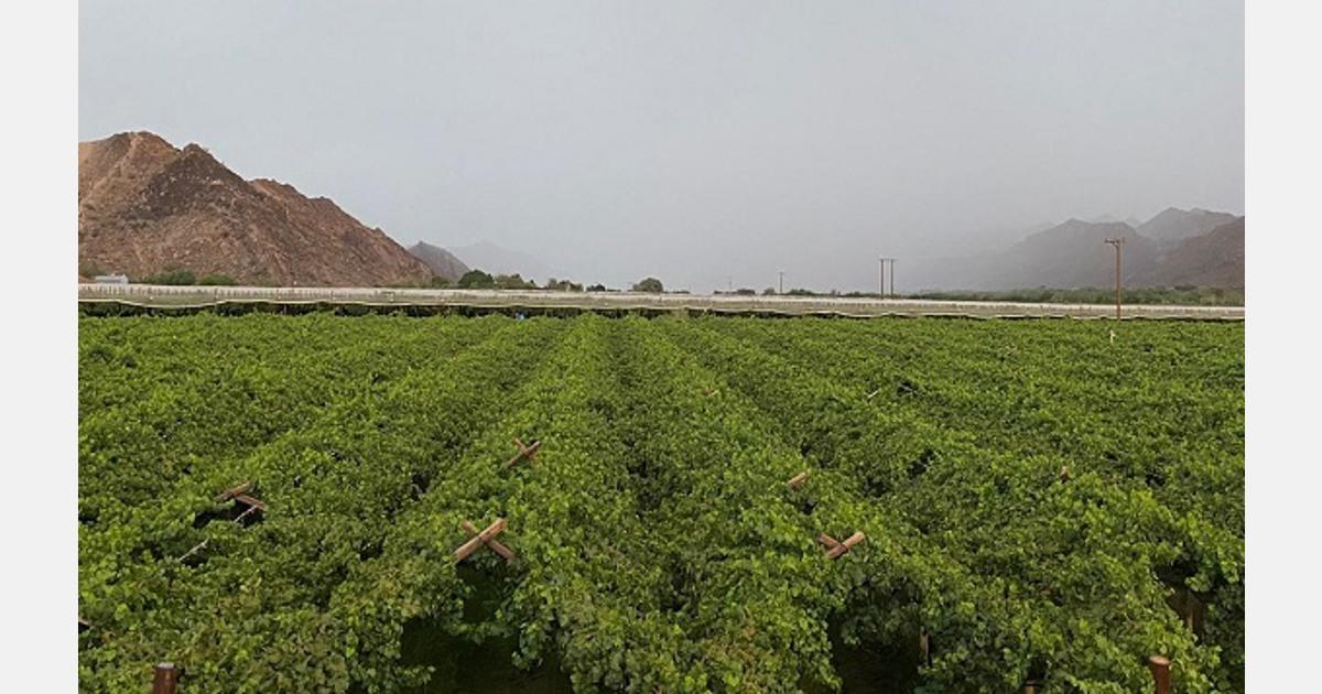 Heavy rain damages Orange River grape crop, while Western Cape is unaffected - FreshPlaza.com