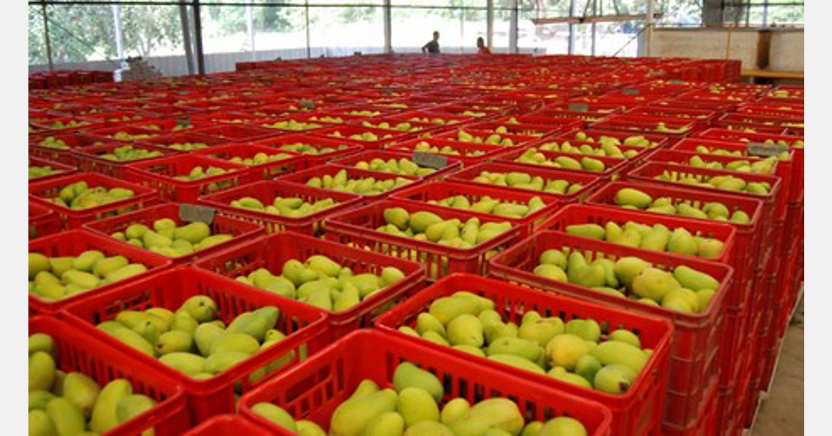 Mexico Invests To Improve The Mango Production Chain In