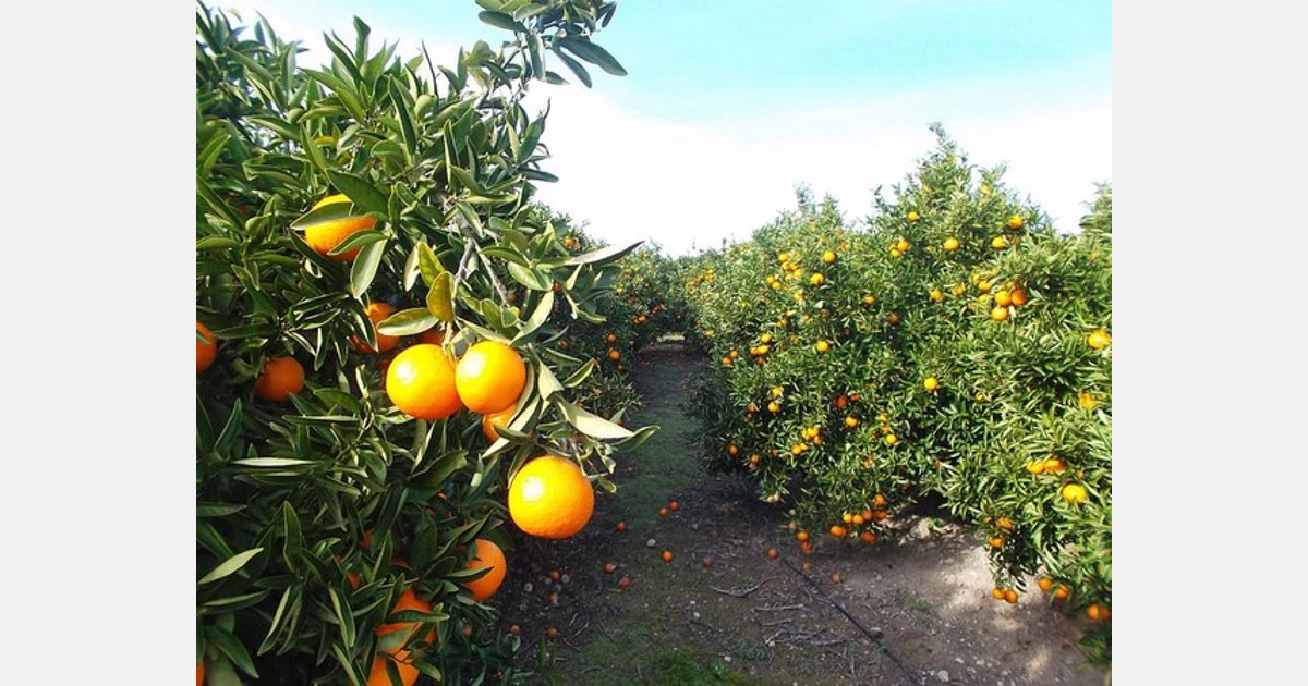 Spain's citrus sector saved 676 million liters of water - FreshPlaza.com