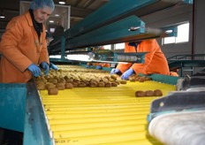 This is where the first sorting and selection processes take place. Kiwis with obvious defects are removed from the line.