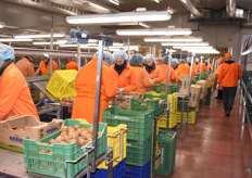 An overview shot of the workers sorting and packing the kiwis.