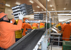 New cartons are put into the line, quickly being spread between the workers, so they can start filling them with kiwis.