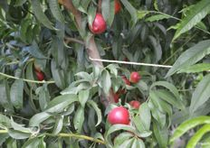 White-flesh Mica nectarines are the first stop during the orchard tour.