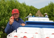 Proudly showing Mica nectarines that were just harvested.