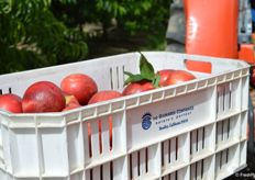 Crate with freshly picked Mica nectarines from Giumarra's DulceVida program.