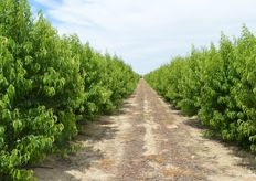 Overview of nectarine trees that grow the Mica variety. These trees are three years old.