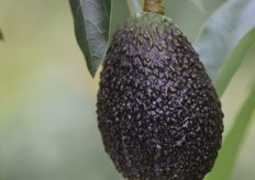 The knobbly, dark skin of a ripe Maluma. Dr André Ernst explained that when there are fruit starting to colour up in the orchard, they can be select-picked for local ripening programmes (export fruit are always sent green).