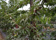 Cherries protected in the tree
