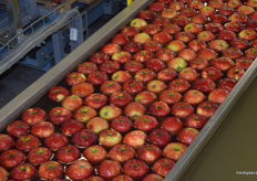 Sorted apples making their way to be packed.
