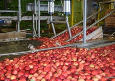 Harvested apples of all different sizes are loaded into the sorted equipment.
