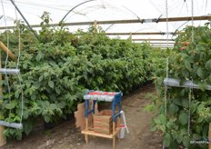 These raspberry plants are being harvested at the time of the visit. The same plants are picked every other day.