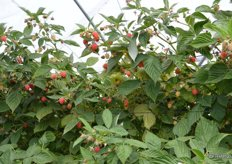 These raspberries are from a different block and will soon be harvested.