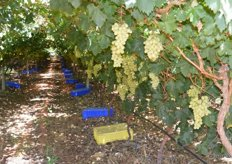 70-80% of the grapes are harvested before Christmas, and the rainy season.