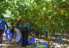 The nets help to shade the grapes from the heat, it was 40+ degrees in the sun.