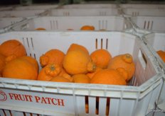 Sumo citrus in totes. The fruit is harvested in totes instead of bins to prevent it from being damaged.