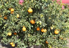 Sumo citrus fruit that's ready to be harvested