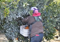 All Sumo citrus is picked by hand and put in totes